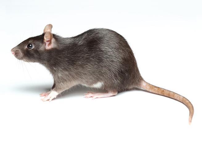 rat-841542443.jpg