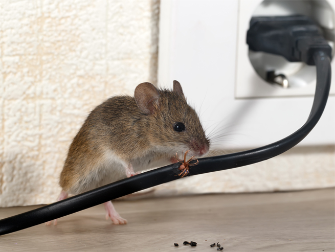 mouse chewing wires-621221399.jpg