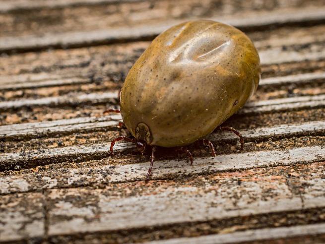 brown-tick-322173120.jpg