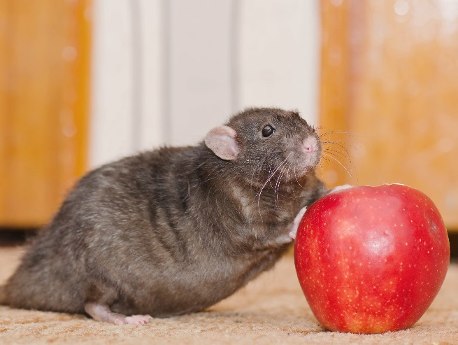 rat-with-apple-540993474.jpg