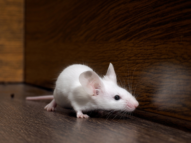 white-mouse-on-the-run-282107757.jpg