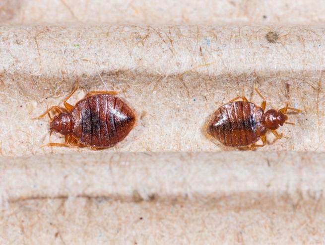 bedbugs-193729164.jpeg