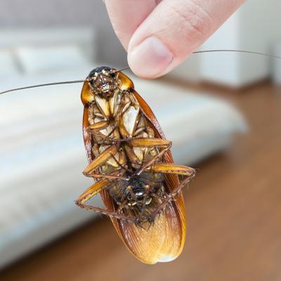 thum-holding-cockroach-by-antenna-355793458.jpg