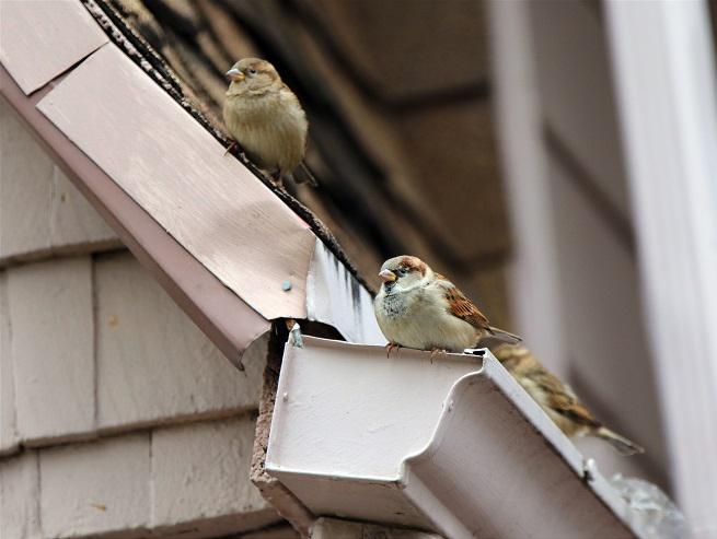 birds-in-gutter-410191401.jpg