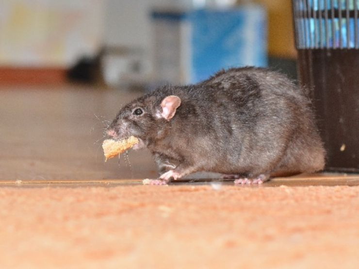 rat-with-cheese-534984445.jpg