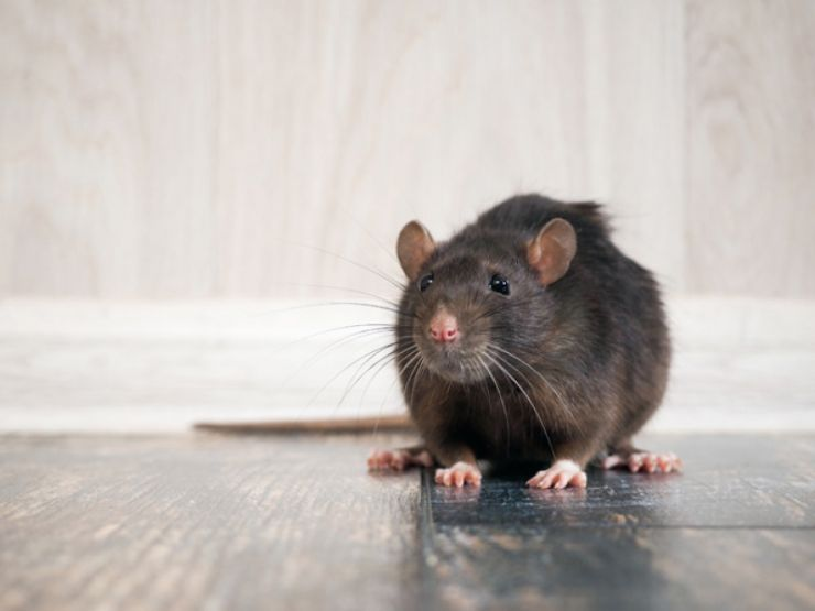 rat-on-the-floor-157802418.jpg