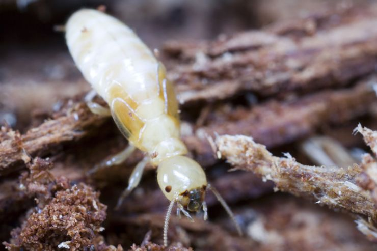 solo-termite-on-the-move-619055737.jpg