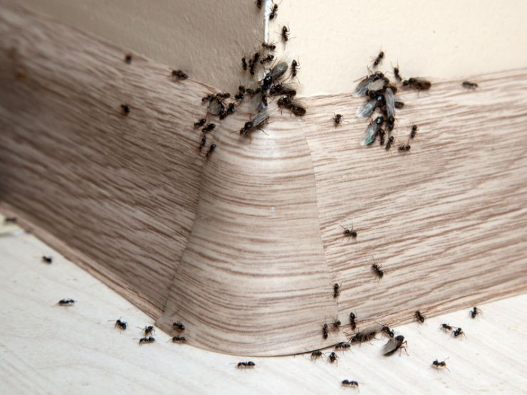 ants-and-flying-ants-128851992.jpg