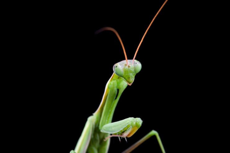 praying-Mantis-headshot-205930954.jpg